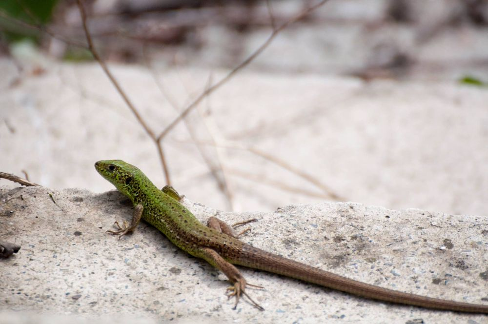 Photo in Random #lizard #green