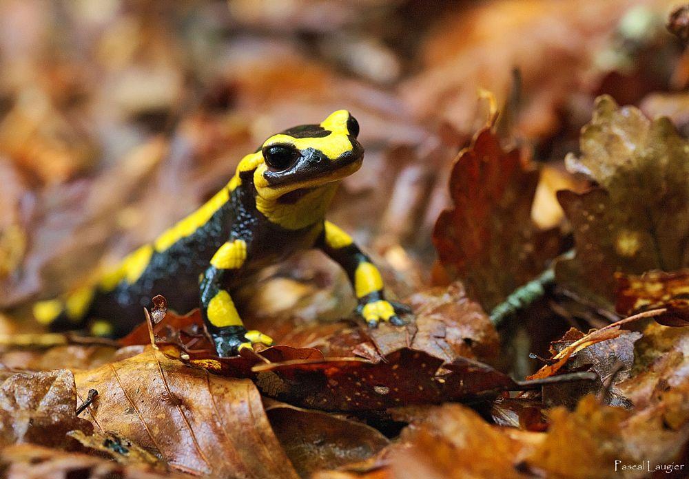 Photo in Macro #salamander #bretagne #brittany #finistère #chaos #saint-herbot #ellez #macro #sous-bois #forest #wood #forêt #bois #feuilles #profondeur de champ