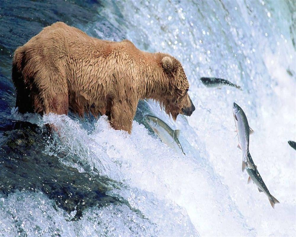Photo in Random #bear #alaska