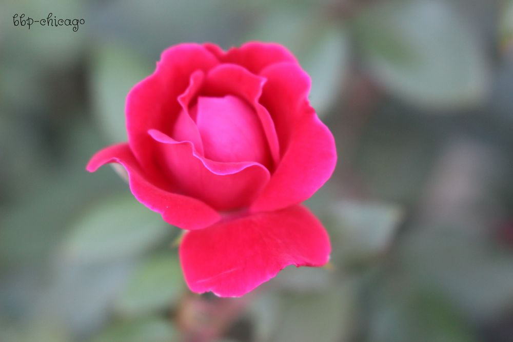 Photo in Nature #flower #rose #red #solitary #bokeh #soft
