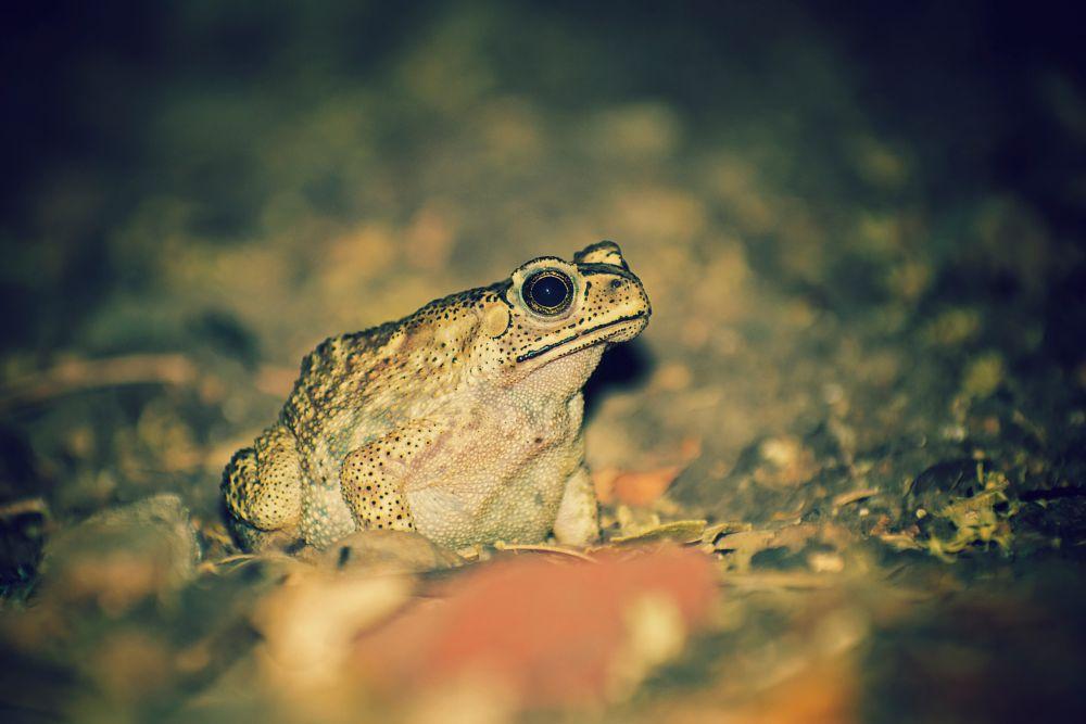 Photo in Animal #toad #frog #amphibian #animal #nature #wild #wildlife #outdoor #night #filters #sharp #macro #animalmacro #closeup