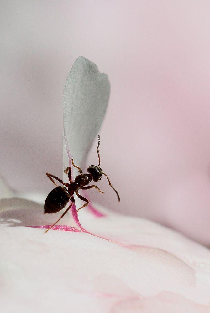 Photo in Macro #ant #macro #petal #peony #pink