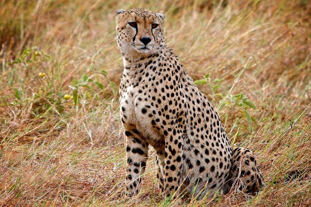 Photo in Animal #cheetah #bigcat #duma #masai mara #africa #kenya #wild life