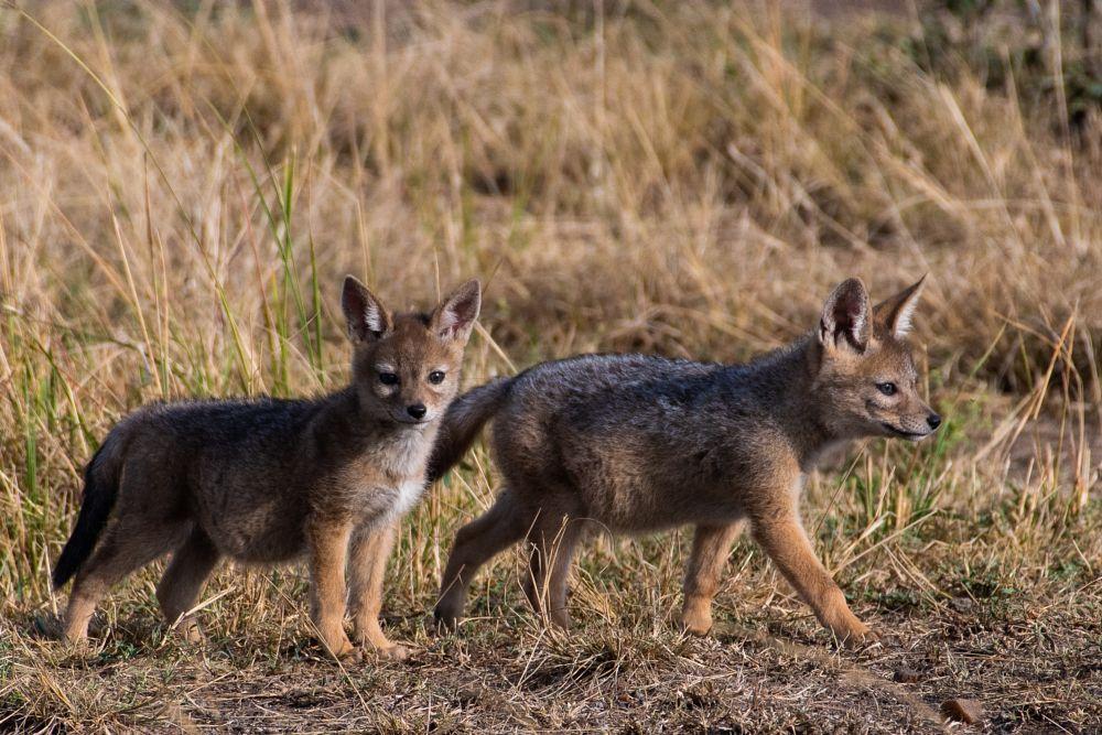 Photo in Animal #jackal #cub #cubs #animal #animals #masai mara #kenya #africa