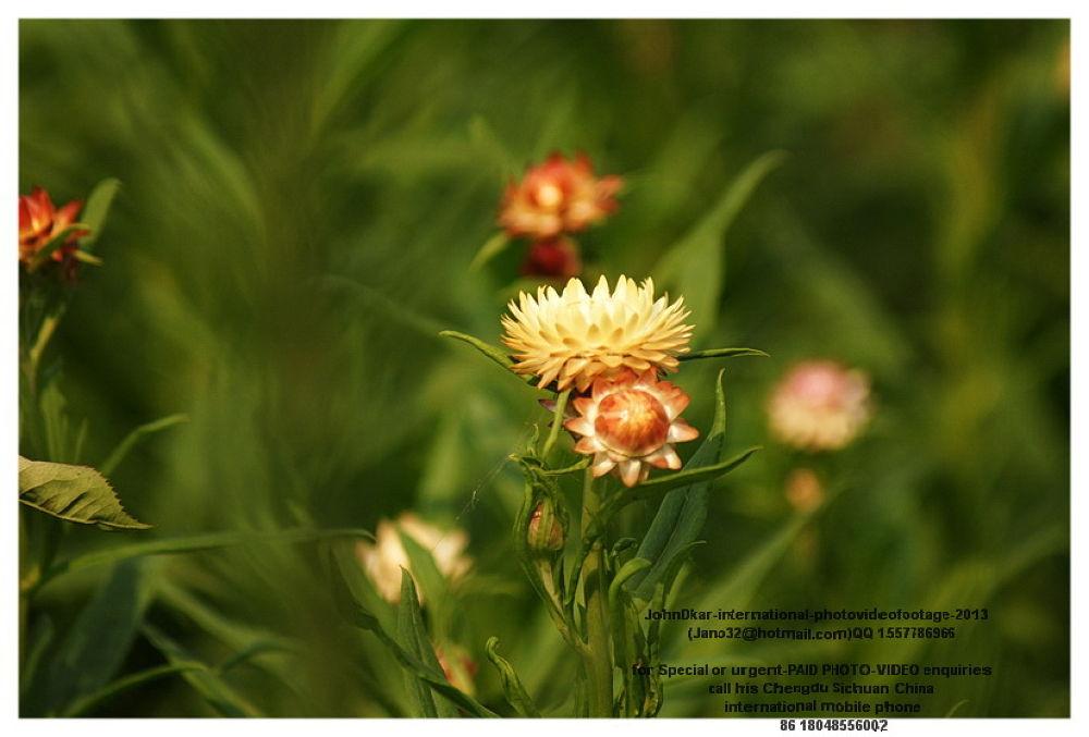 Photo in Nature #flower #chengdu #sichuan #china #johndkar #nature