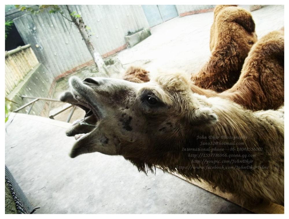 Photo in Animal #camels #chengdu #sichuan #china #johndkar