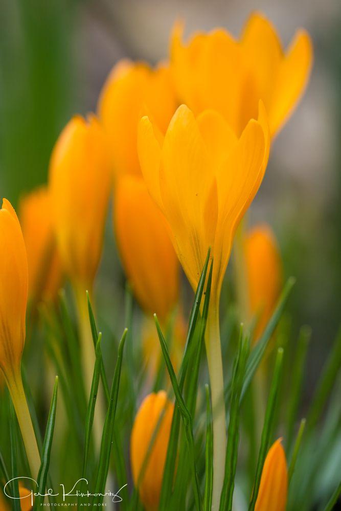 Photo in Nature #frühling #krokus #sonne #spring