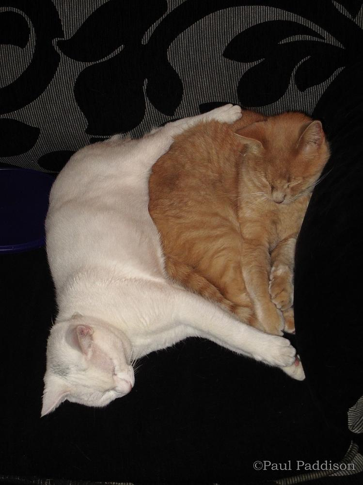 Photo in Animal #cats #pair #friends #sleeping #snooze