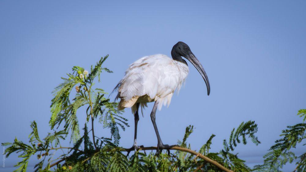 Photo in Animal #birds #white #black #large #hyderabad #india