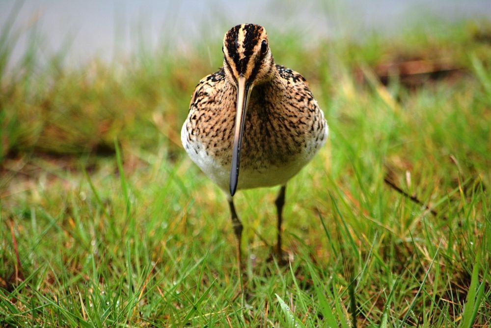 Photo in Nature #bécassine des marais #gallinago gallinago #réserve ornithologique #teste de buch #nature #nikond7100