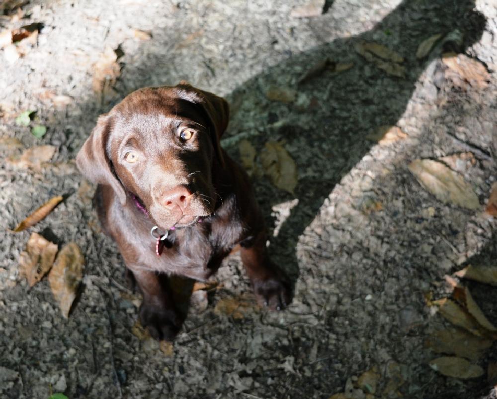 Photo in Animal #chocolate labrador #puppy #sit #nikon d7100