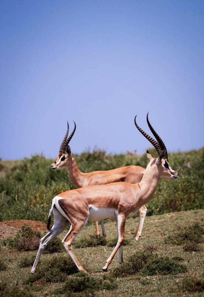 Photo in Animal #africa #kenya #wildlife #animals #impala