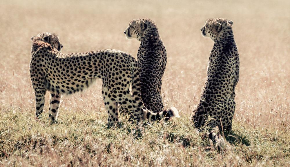Photo in Animal #wildlife #africa #maasai mara #kenya #cheetah #animals #wild #savannah