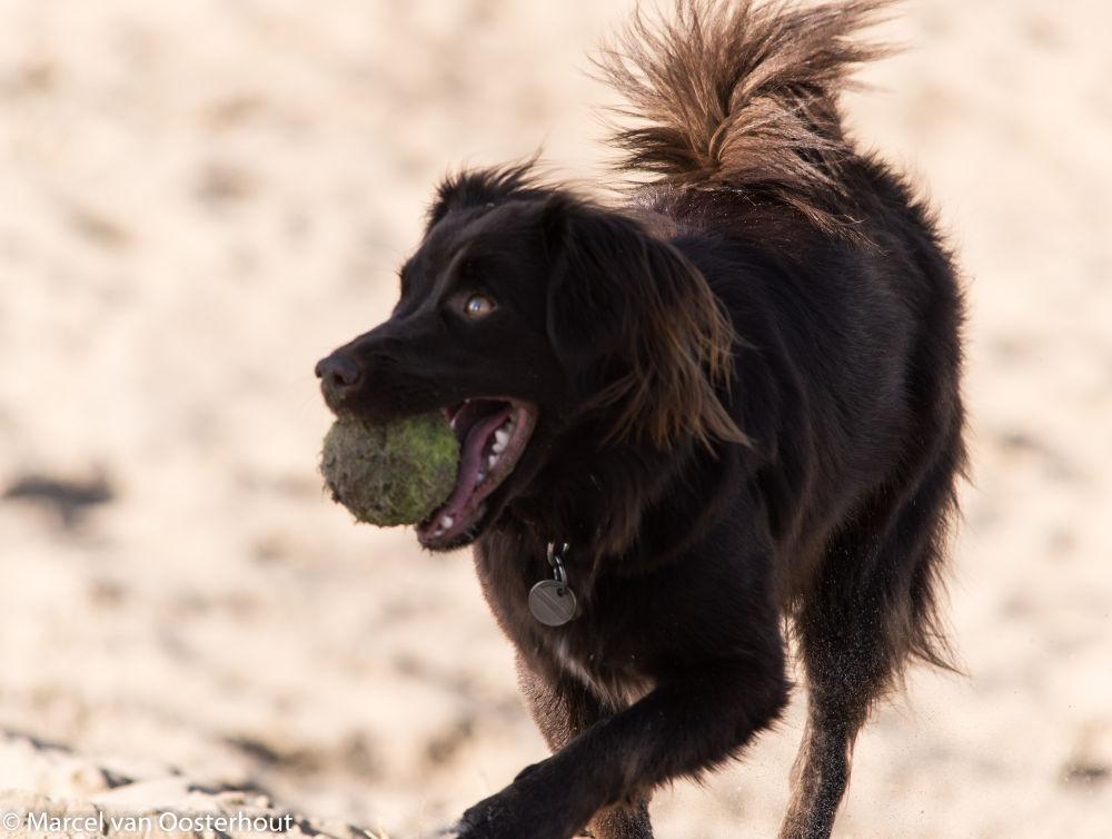 Photo in Animal #animal #animals #dog #dogs #ball #beach #holland #netherlands
