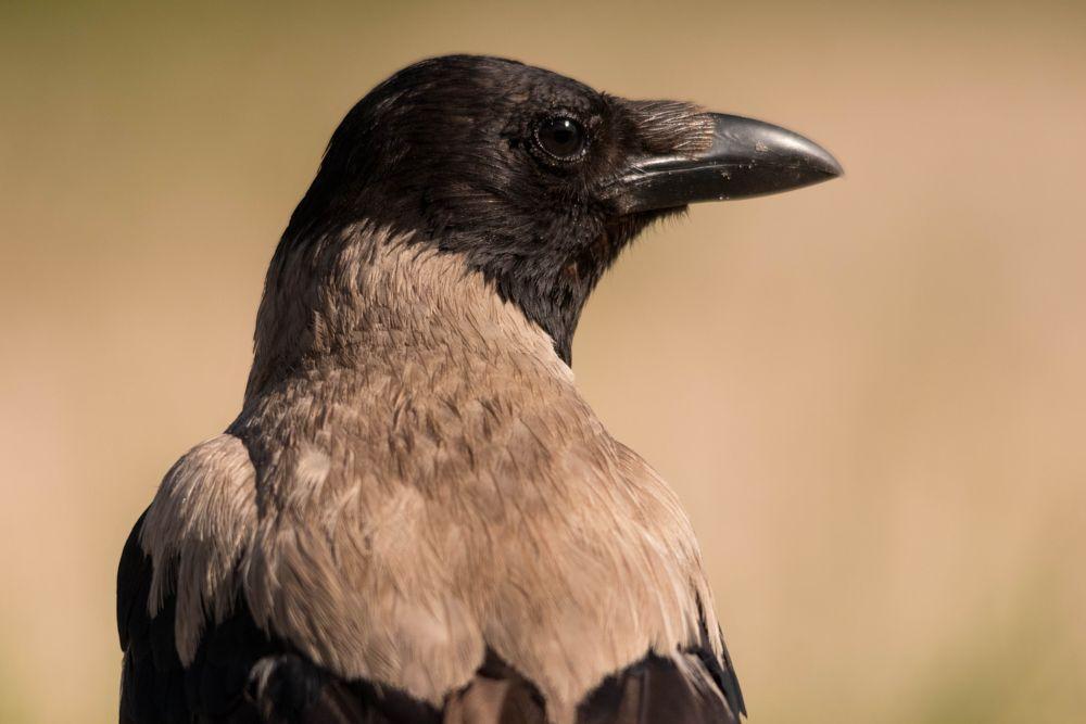 Photo in Animal #hooded crow #crow #cornacchia grigia #cornacchia #corvus cornix #bird #uccelli #portrait #nature #animal #ultima frontiera