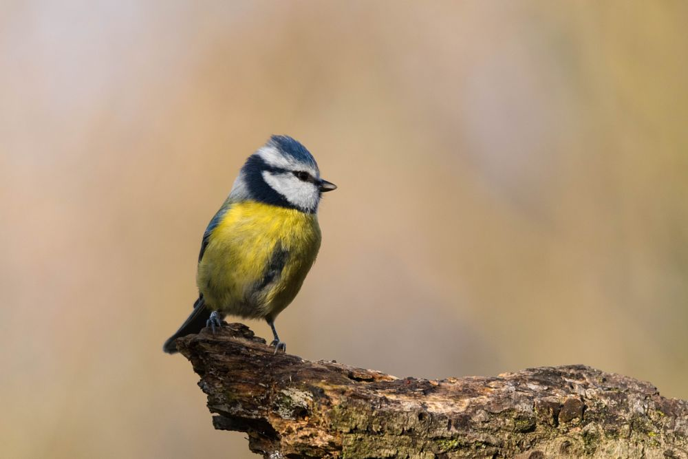 Photo in Animal #blue tit #cinciarella #bird #uccelli #animal #nature #colors #le foppe