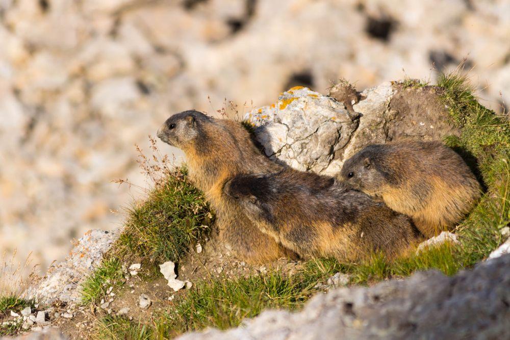 Photo in Animal #marmot #marmotta #mammal #mammifero #mountain #montagna #val gardena