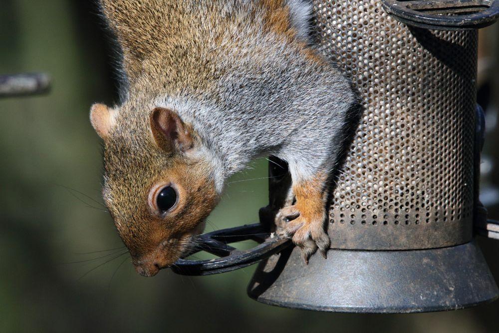 Photo in Animal #animal #wildlife #nature #squirrel #grey squirrel