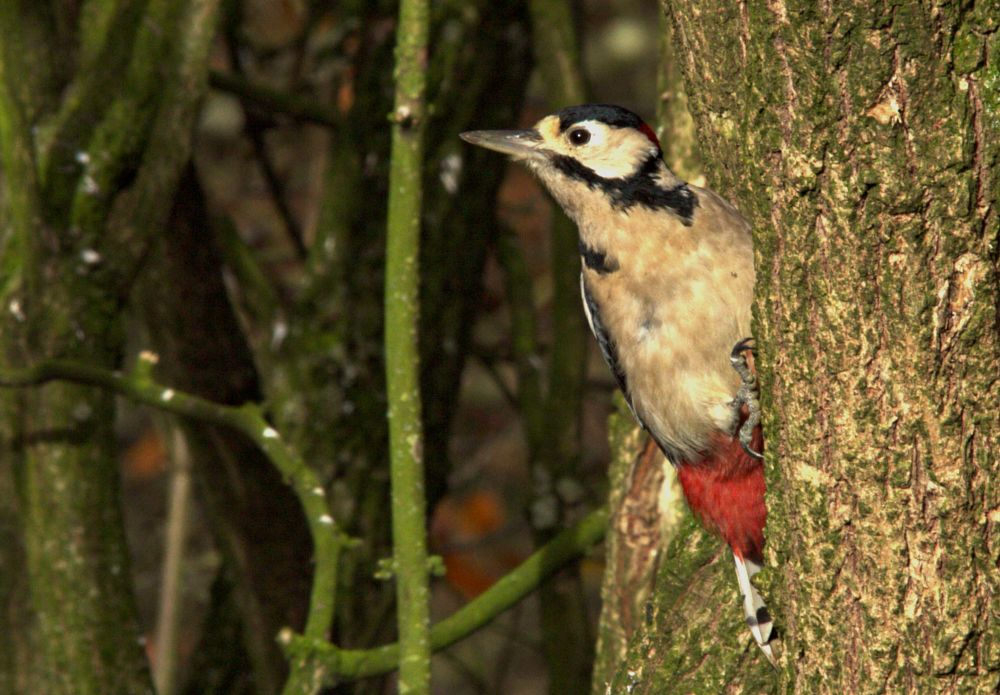 Photo in Animal #woodpecker #greater spotted woodpecker #bird #wildlife #nature