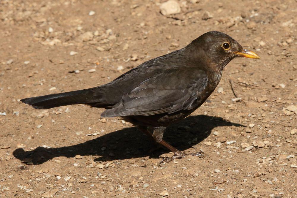 Photo in Animal #bird #thrush #blackbird #wildlife #nature #animal