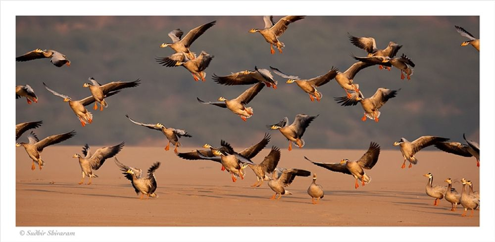 Photo in Random #bar #headed #geese