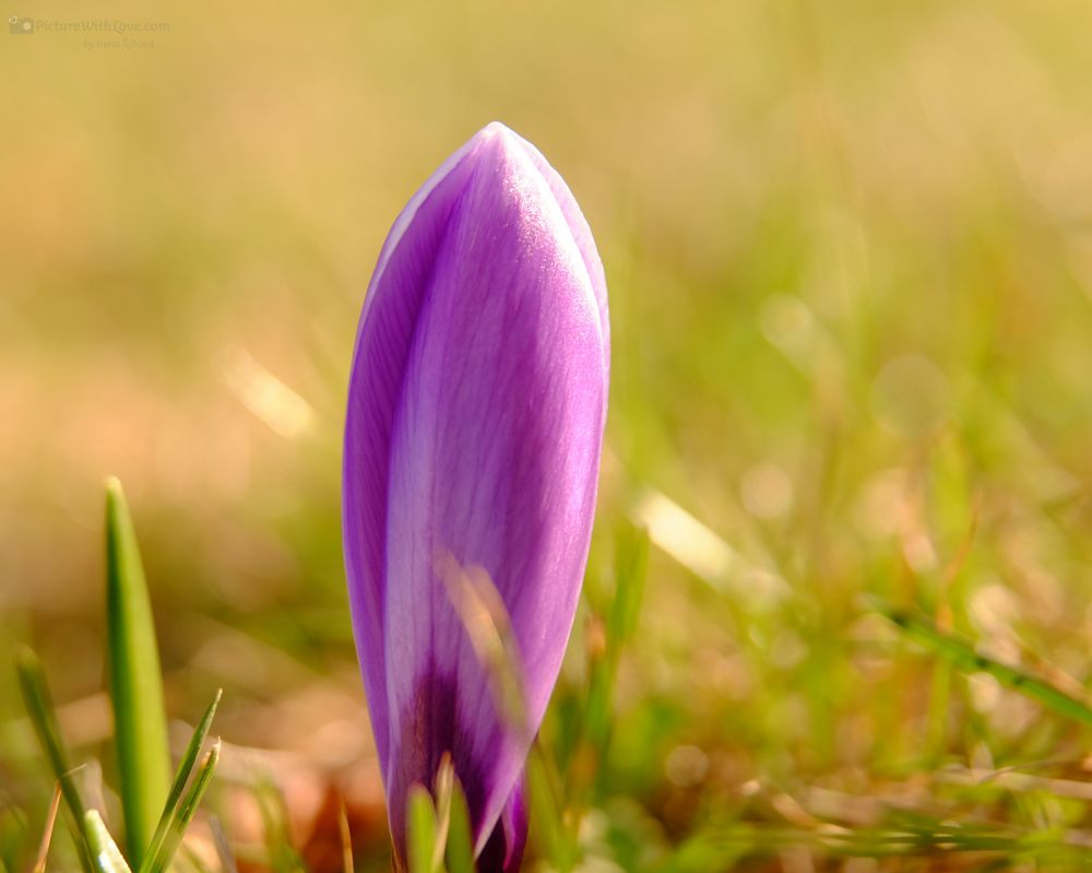 Photo in Nature #blossom #spring #flower #flowers #violet #crocus #plant #nature #grass #sunshine #bokeh