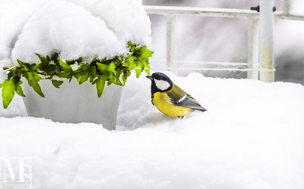 Photo in Nature #animal #bird #snow #nature #animals #mss-photograhy.com