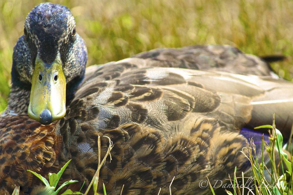 Photo in Animal #duck #bird #nature