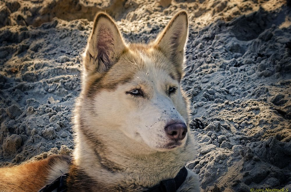 Photo in Animal #husky #dog
