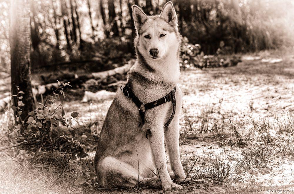 Photo in Animal #husky #dog #animal