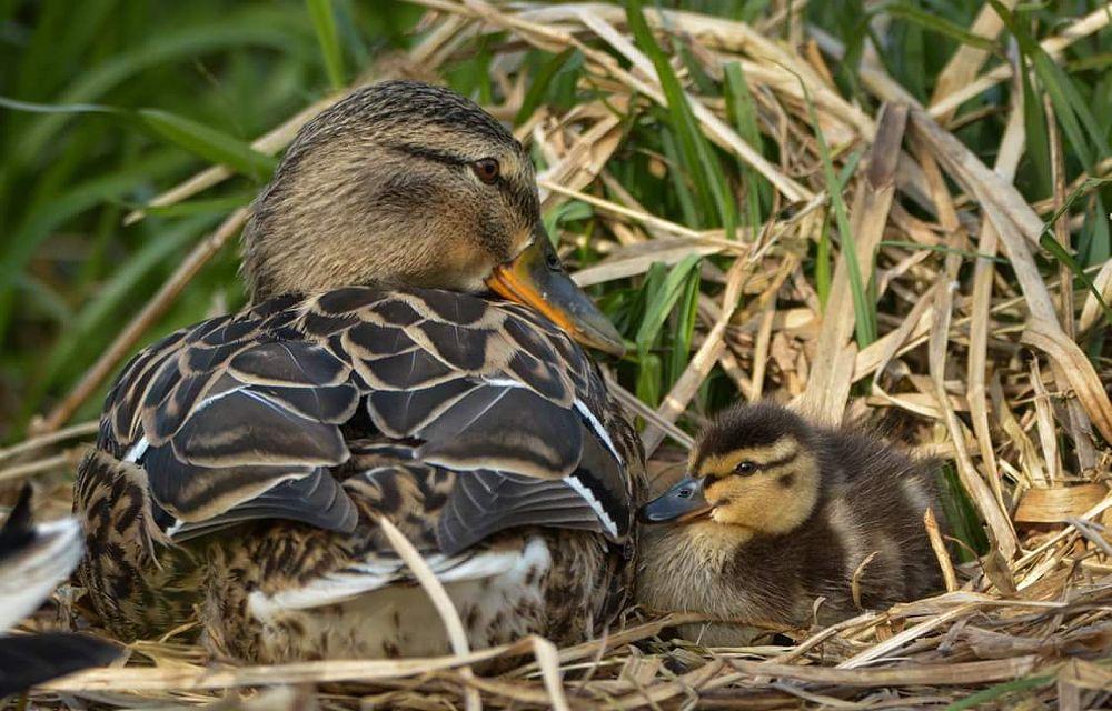 Photo in Nature #duck #chick #birds #mother #baby #mallard
