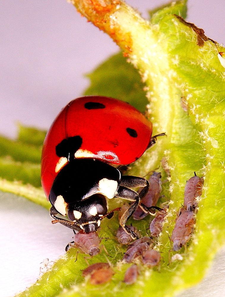 Photo in Macro #ladybug #ladybird #coccinellid