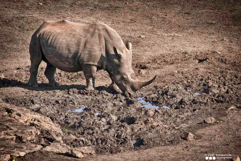 Photo in Nature #rhino #south africa #conserve #conservation #threatened species #protected species #savetherhino