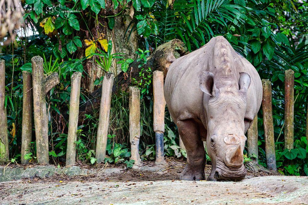 Photo in Random #rhinoceros #singapore zoo