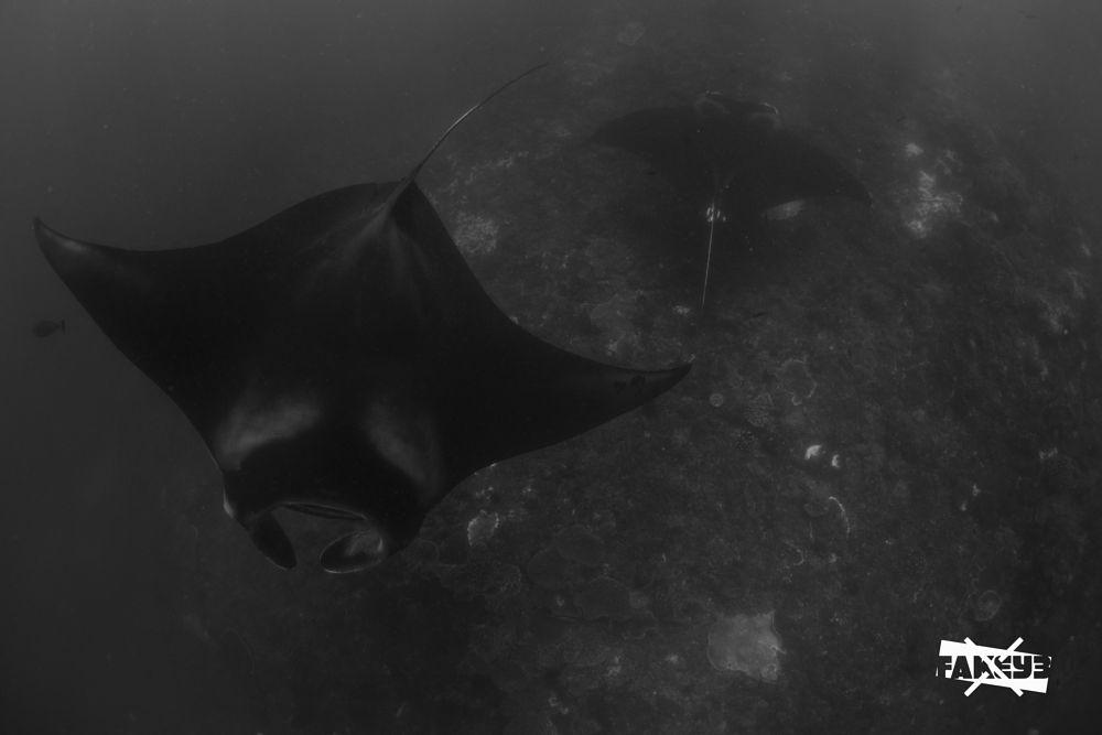Photo in Underwater #fish #manta #ray #big #beautiful #gracious #underwater #diving #freedive #freediving #apnea #one #breath #blackandwhite #free #sea #ocean
