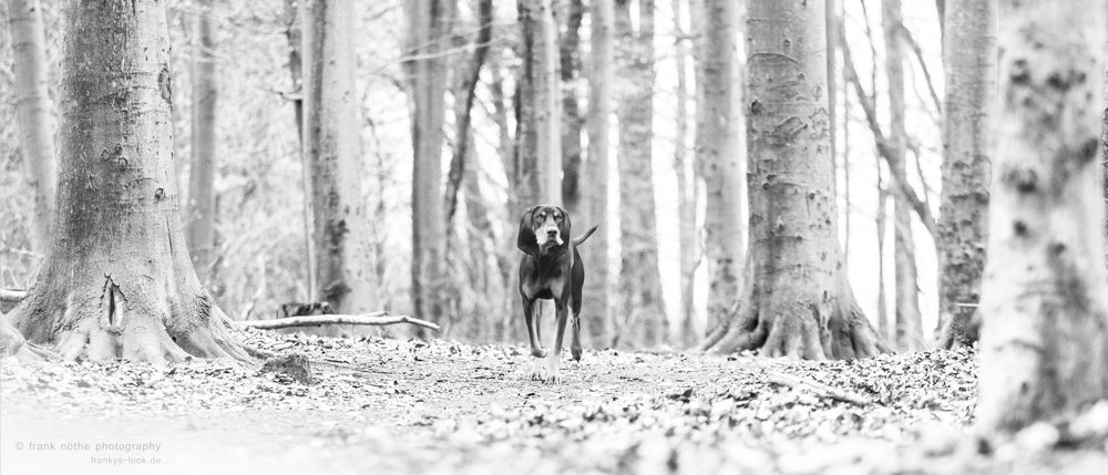 Photo in Animal #bw #coon #hound