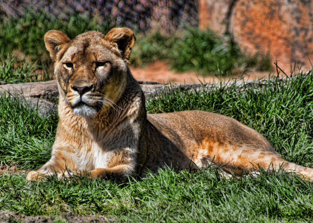 Photo in Animal #lion #zoo