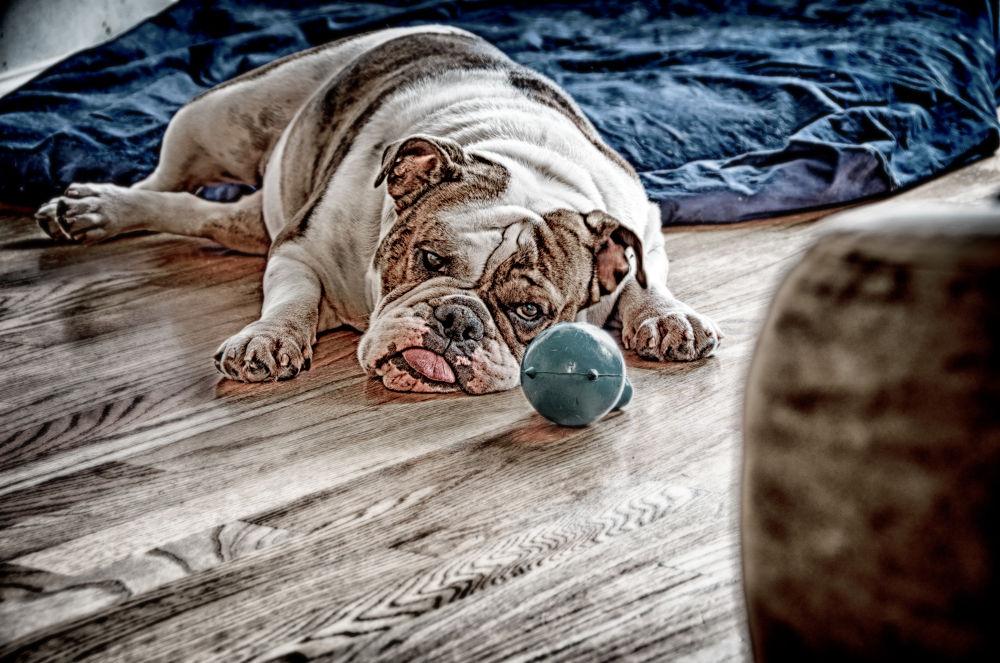 Photo in Random #dog #hdr #puppy #bull dog #pup #doggy