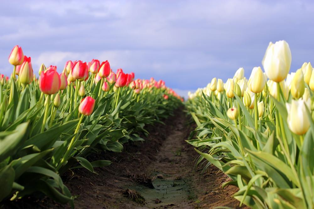 Photo in Landscape #tulip #flower #field #farm #spring #color #colorful
