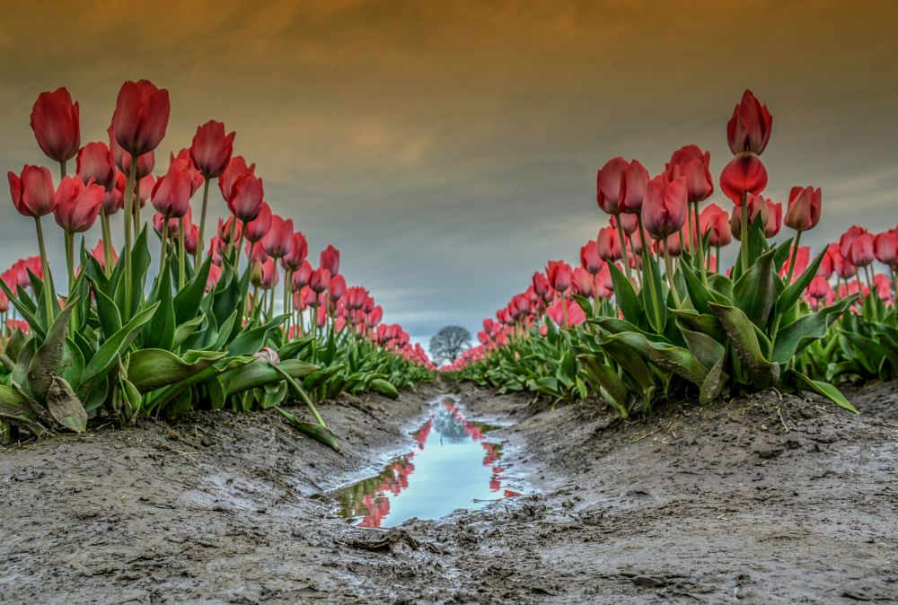 Photo in Landscape #beauty #tulip field #tulip #oregon #nature