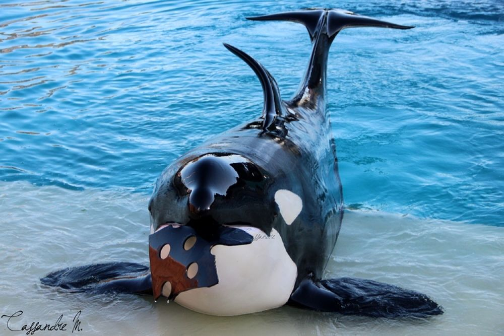 Photo in Random #freya #orca #captive #killer #whale #orque #toy #marineland #antibes #france