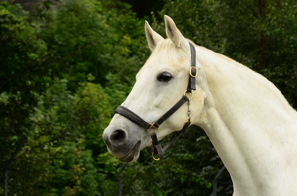 Photo in Animal #animal #portraits #bergen #koengen #white horse #fotoperm18