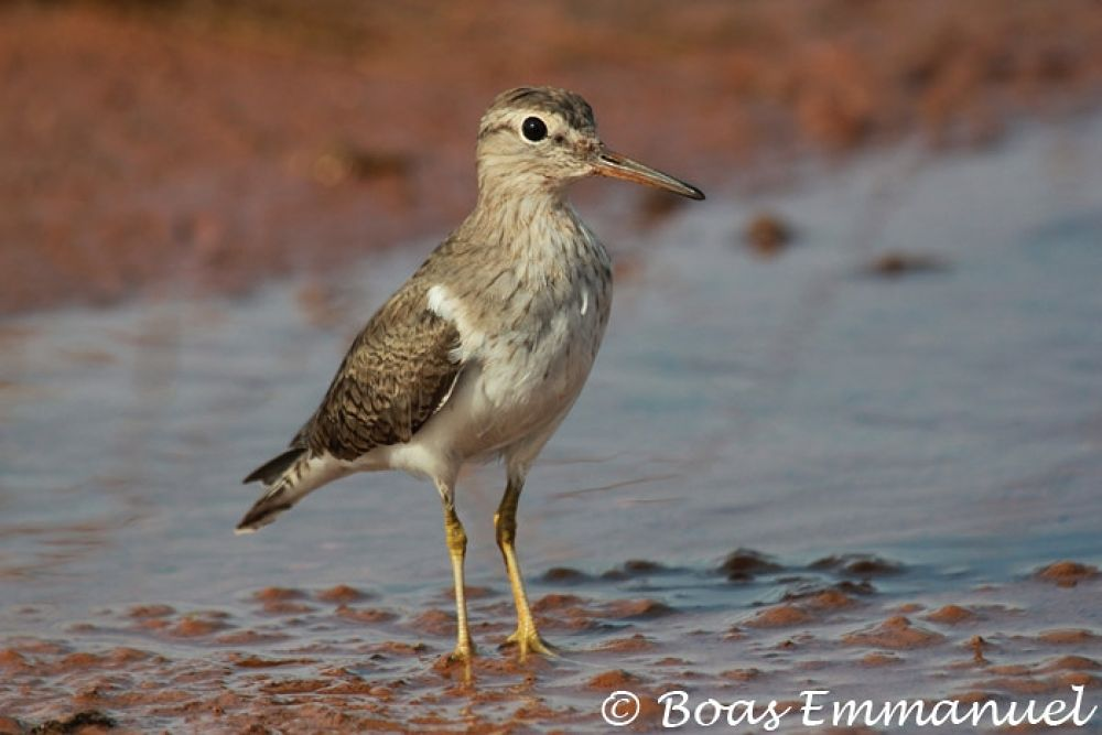 Photo in Random #common #sandpiper #(actitis #hypoleucos)