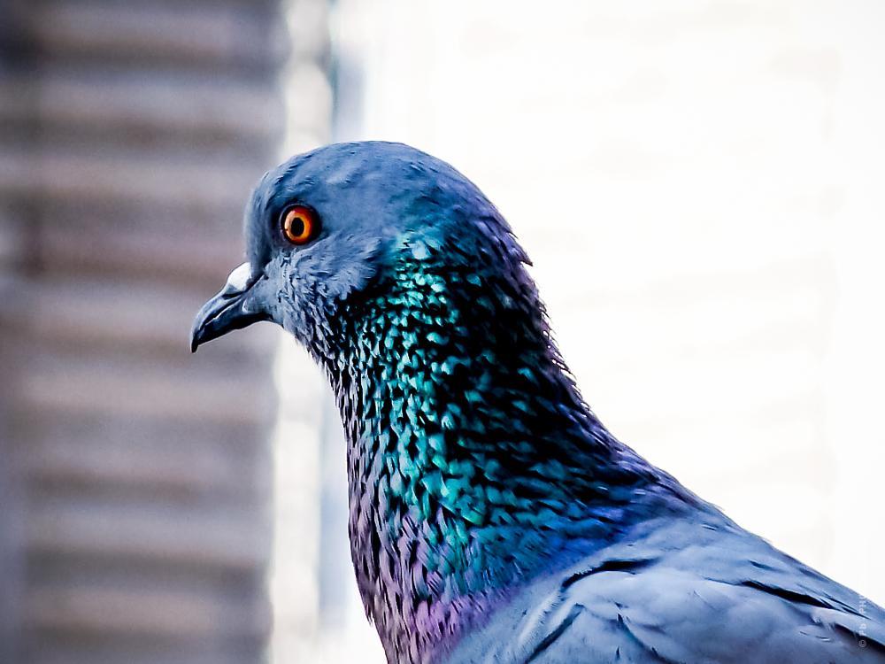 Photo in Animal #blue rock pigeon #bird #animal #delhi #india #prafullabhosekar