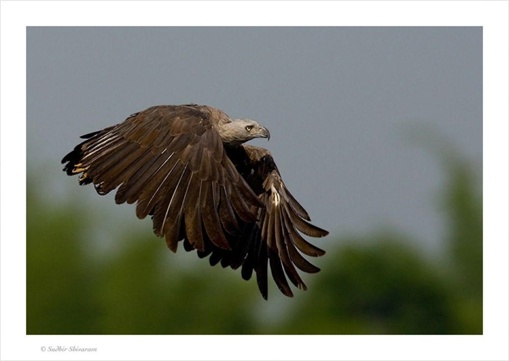 Photo in Random #grey #headed #fish #eagle