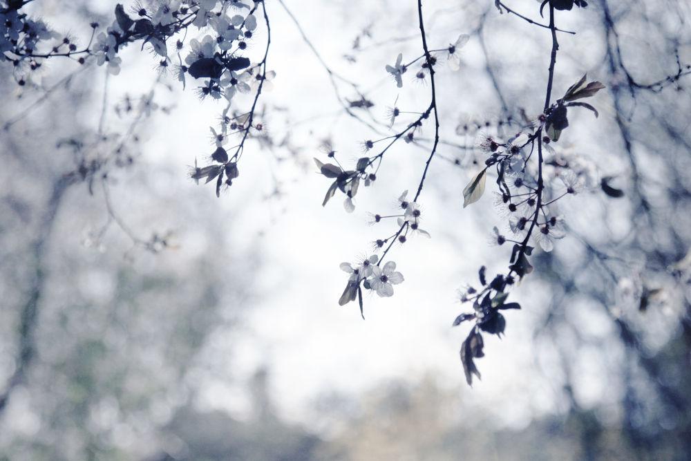 Photo in Nature #nature #spring #flower #blossom #light #white #bloom