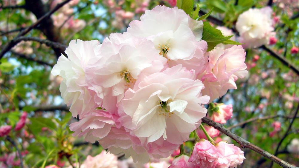 Photo in Nature #cherry blossoms #cherry #china #zhejiang