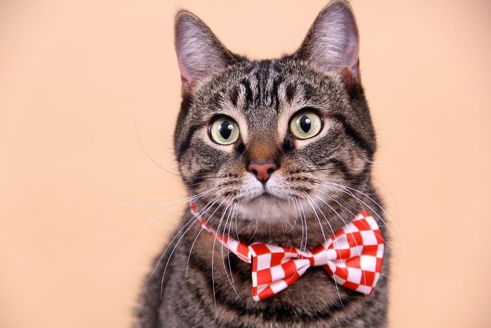 Photo in Animal #cat #cats #kittens #pets #animals #paws #whiskers #cute #tabby #tabby cats #bow tie