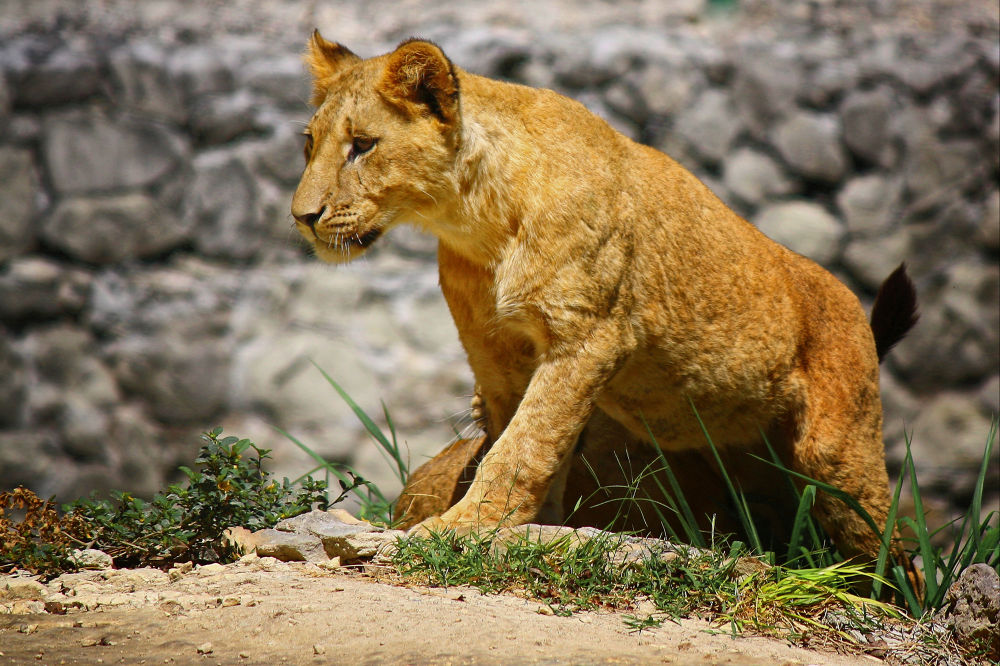 Photo in Nature #lion #lions #wildlife #animals #big cat #big cats #lioness #lionesses #aninal