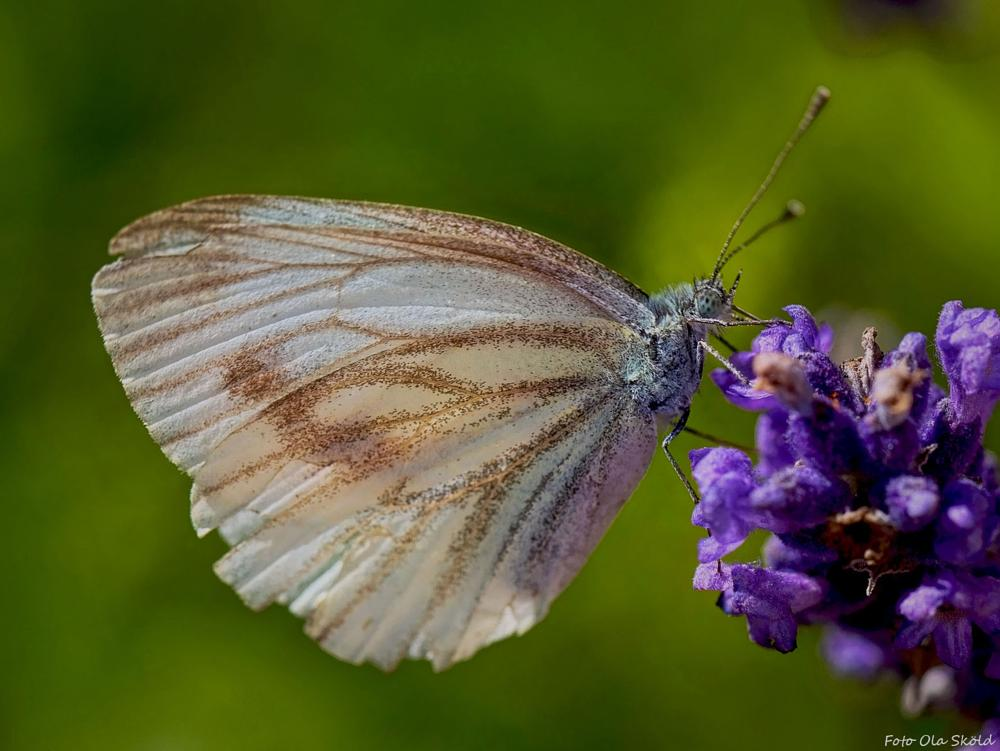 Photo in Nature #butterfly #flower #macro #canonfreak #sweden #summer